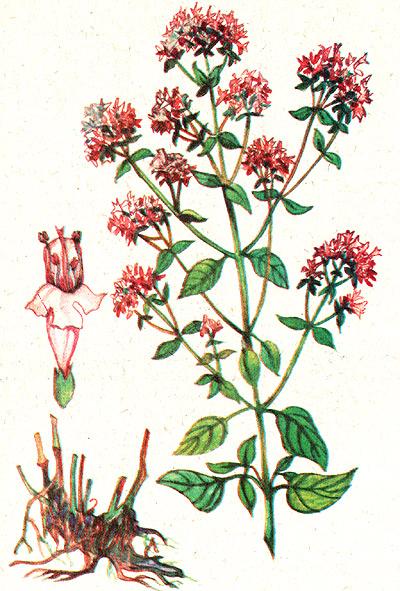 Пряные травы ароматические растения Использование Фото