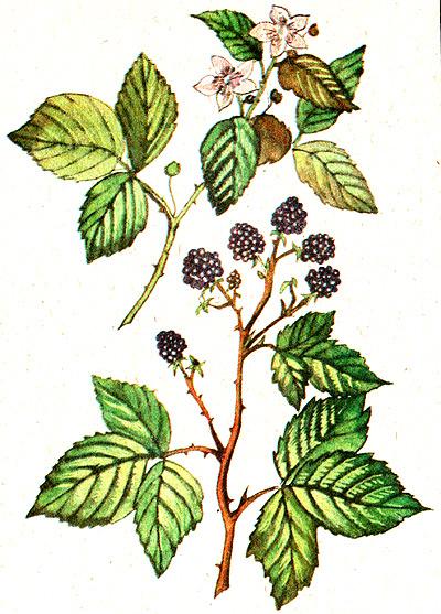 Ежевика сизая ожина rubus caesius рисунок