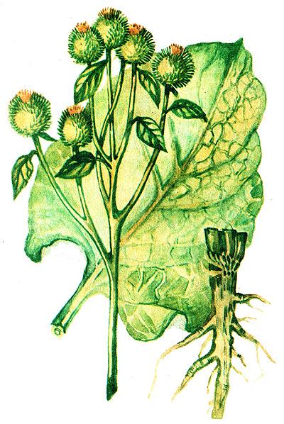 фото растения репей