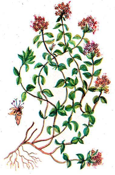 рисунок тимьян ползучий, чабрец (Thymus serpyllum), тимьян рисунки ...