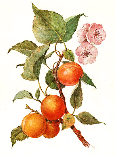 Абрикос обыкновенный armeniaca vulgaris
